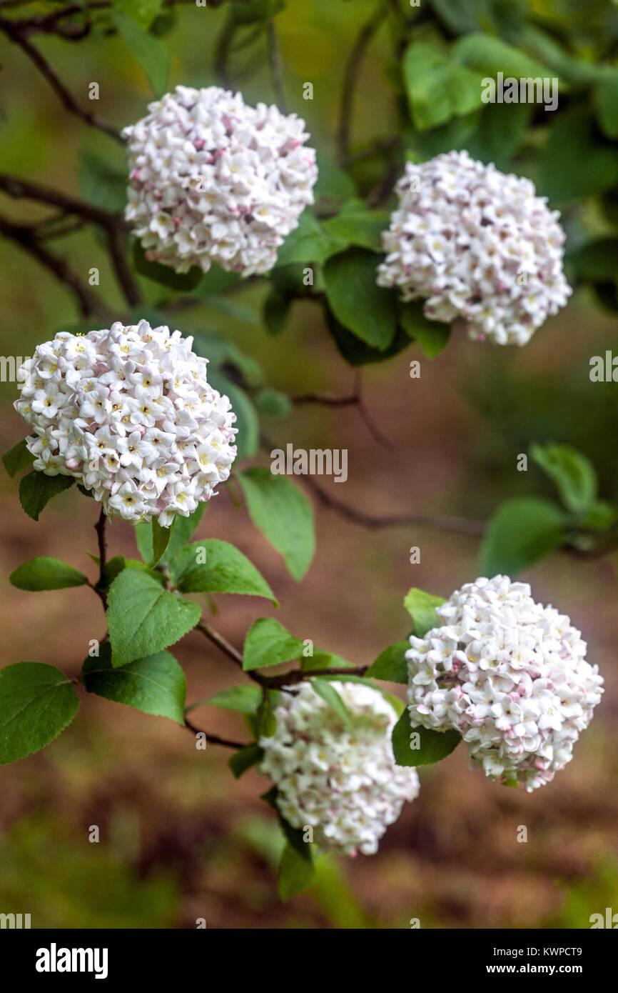 Viburnum carlcephalum, Fragrant Snowball - Stock Image