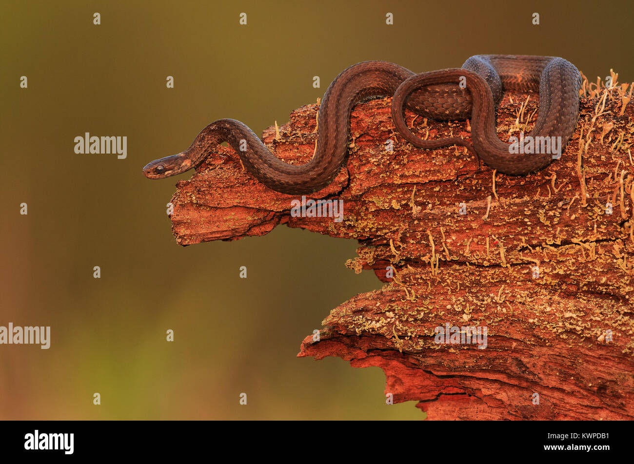 A Red-bellied Snake emerges from the log pile. - Stock Image
