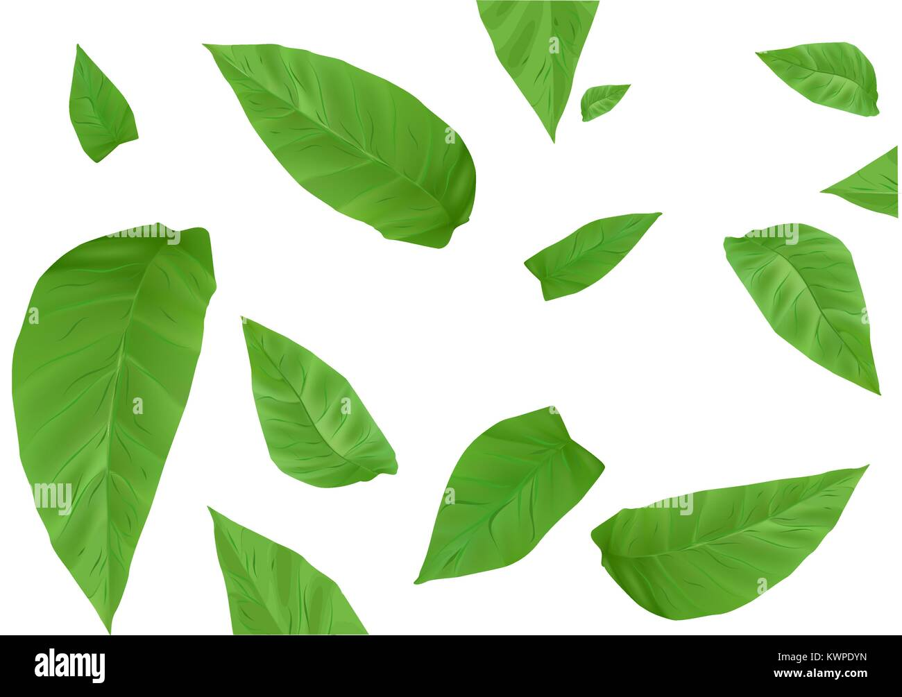 tobacco leaves isolated on a white background - Stock Image