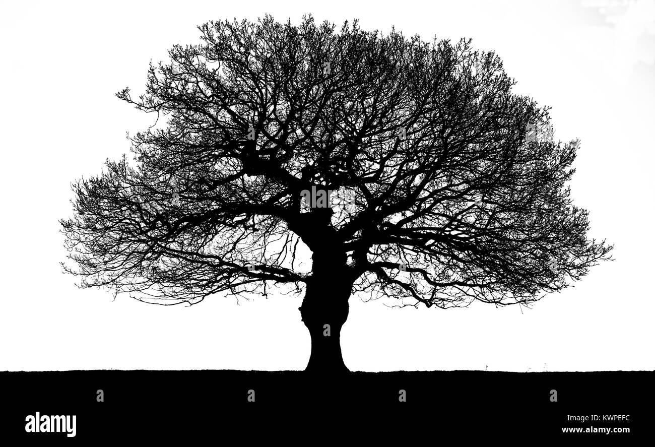 A single oak tree silhouette in winter - Stock Image