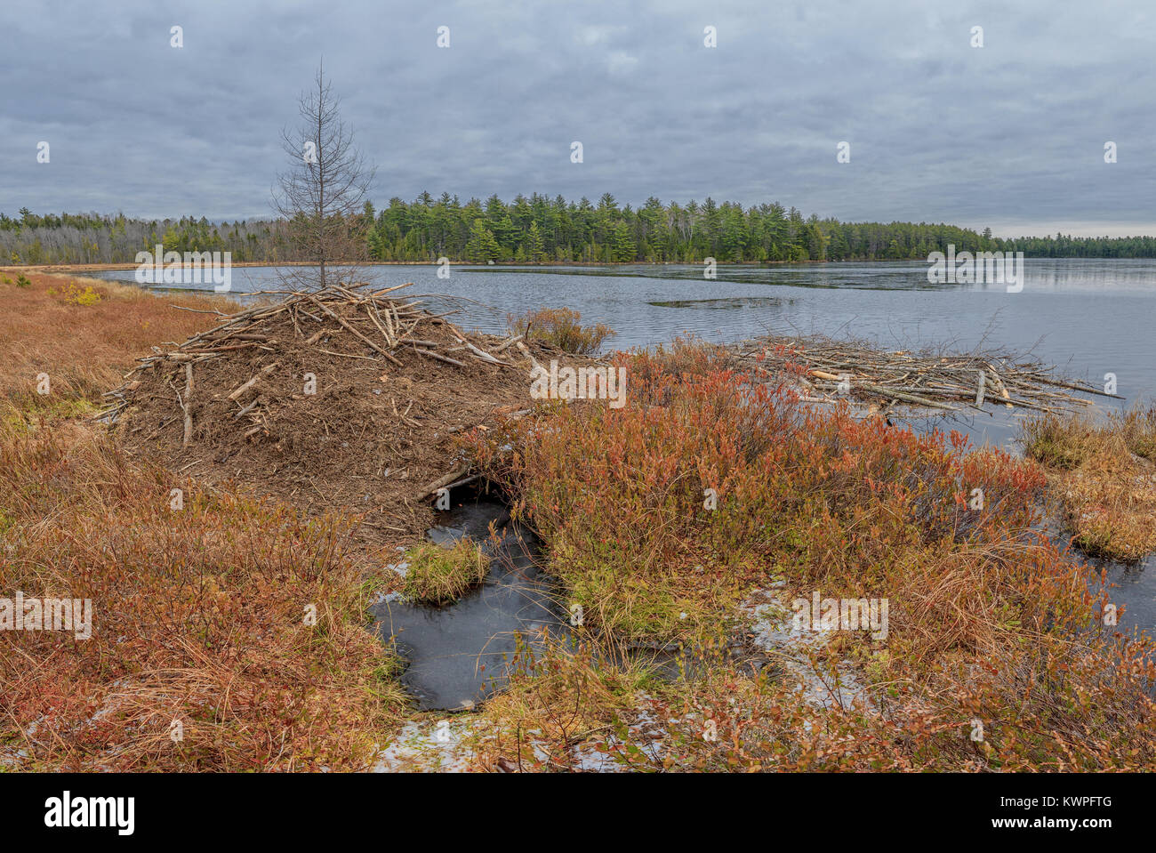 A Beaver lodge and their winter food cache. - Stock Image