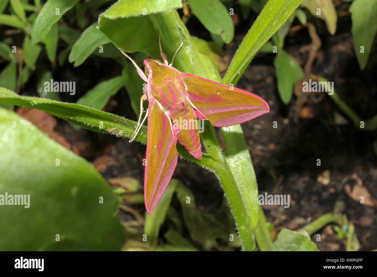 Elephant Hawk Moth; Dielephila elpenor - Stock Image