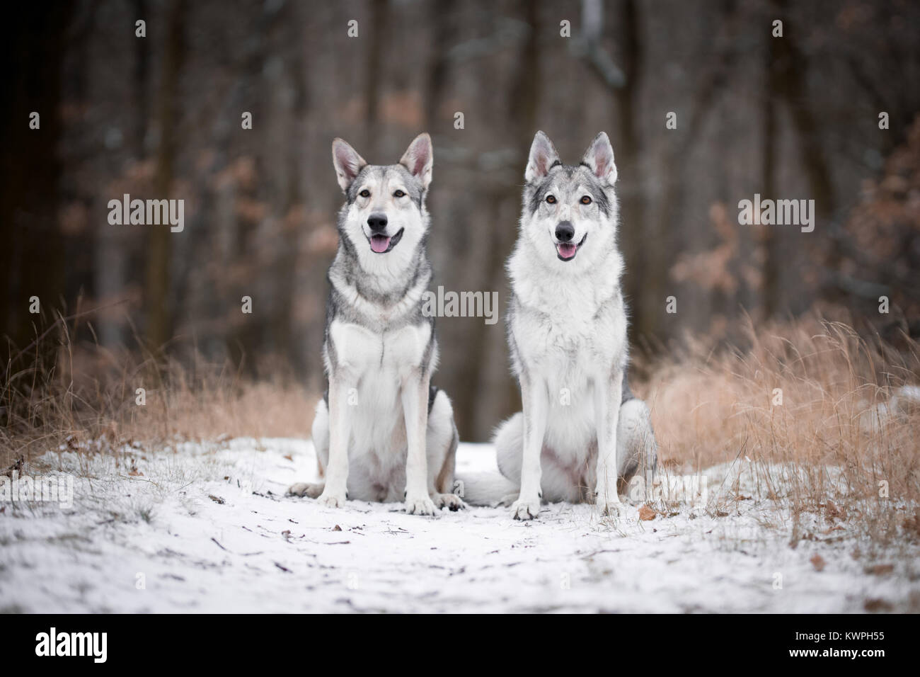 wolves in forrest in winter in forrest - Stock Image