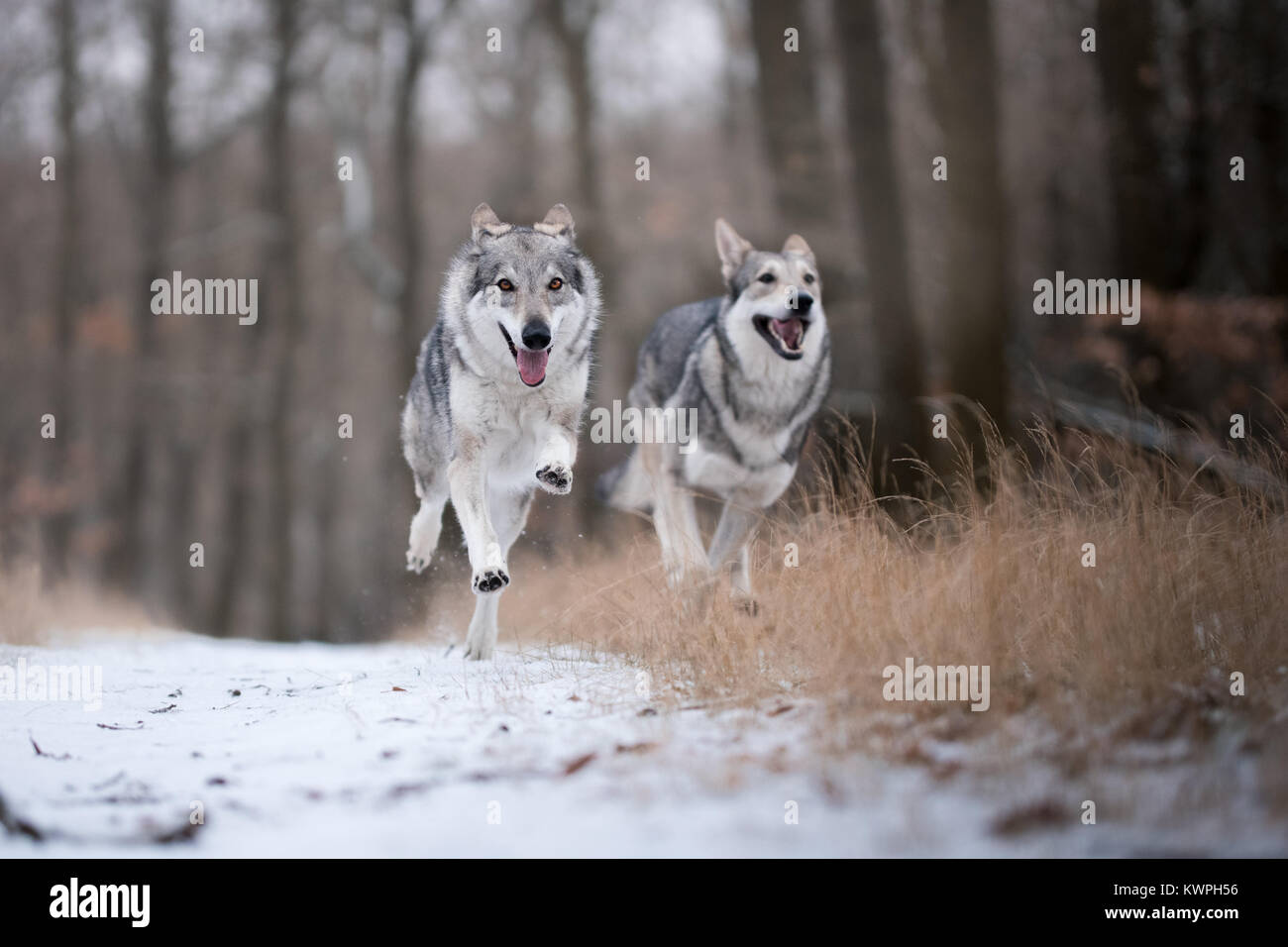wolves in forrest in winter time on snow - Stock Image