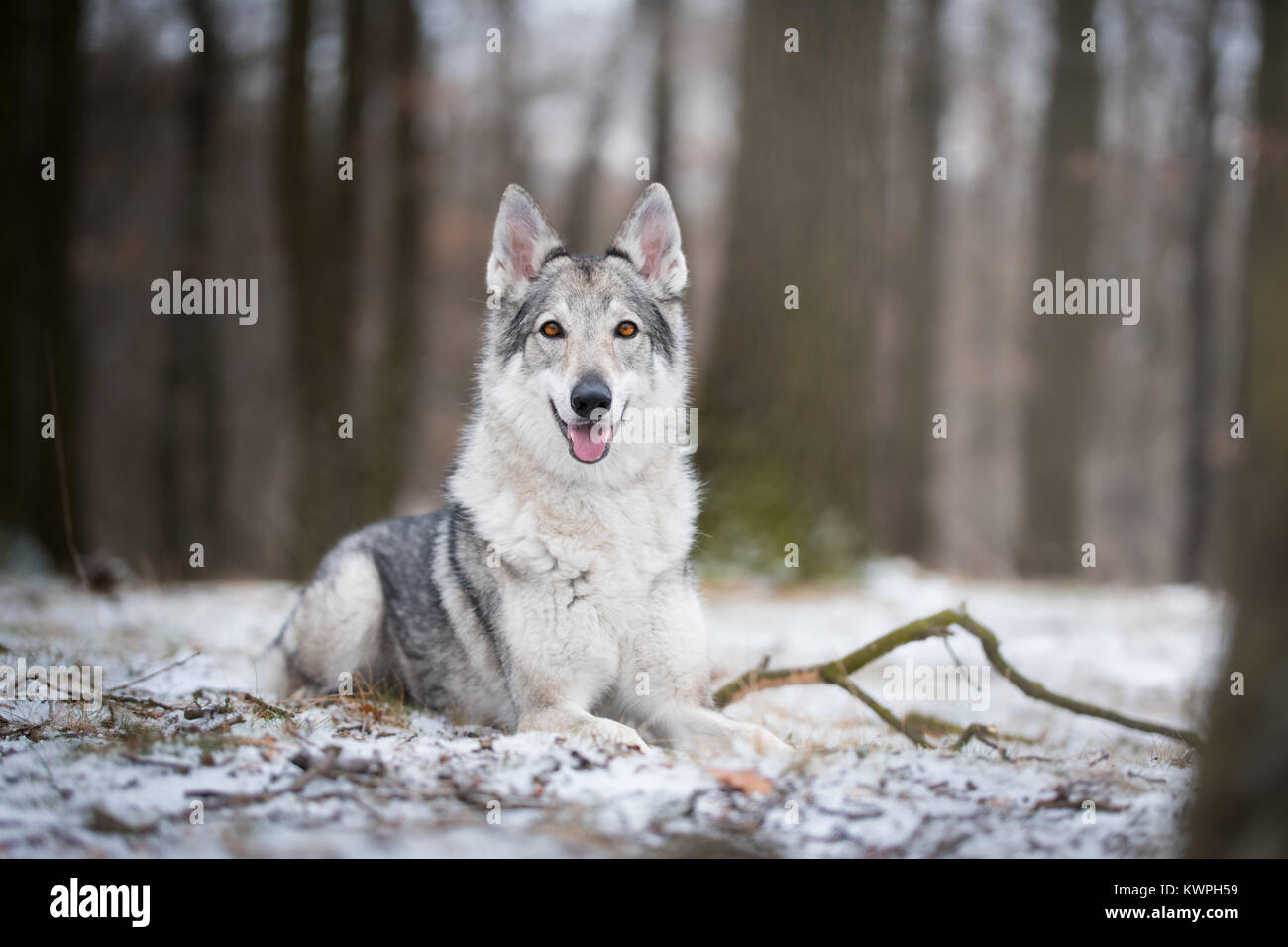 wolf in forrest in winter in forrest - Stock Image
