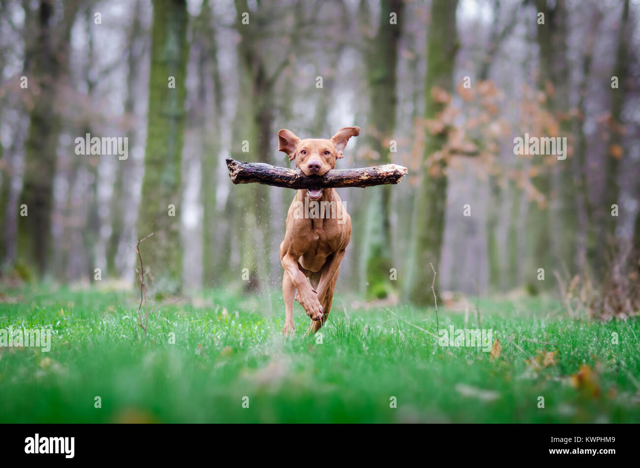 hungarian hound dog portrain in the middle of the forrest - Stock Image