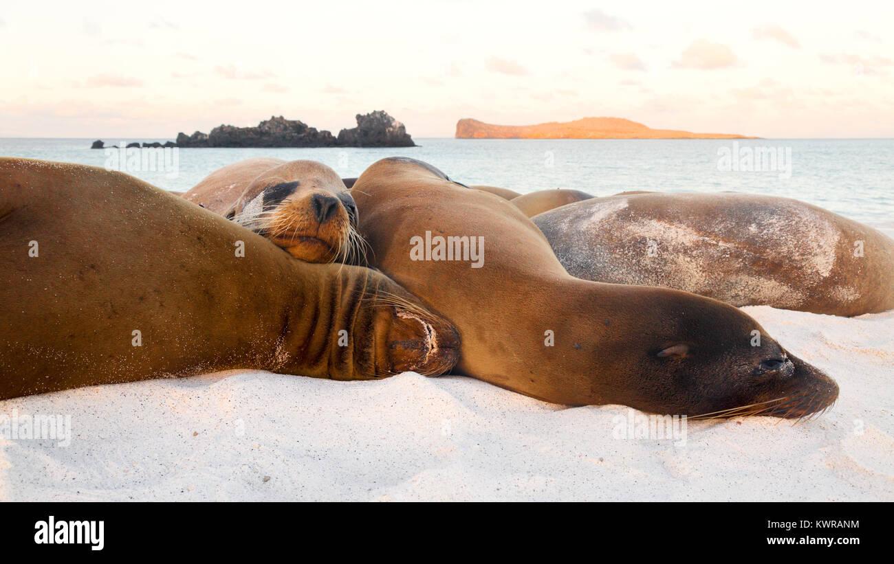 Sea lions resting on the beach, Gardner Bay, Espanola Island ( Hood Island ), Galapagos islands, Ecuador South America - Stock Image