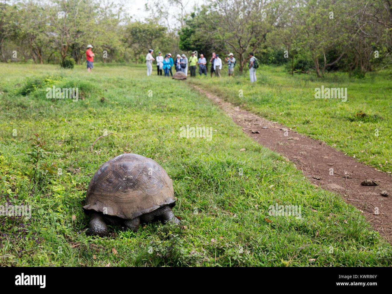 Galapagos giant tortoise ( Chelonoidis Nigra ), and tourists, El Chato Ranch, Santa Cruz island, galapagos Islands, - Stock Image