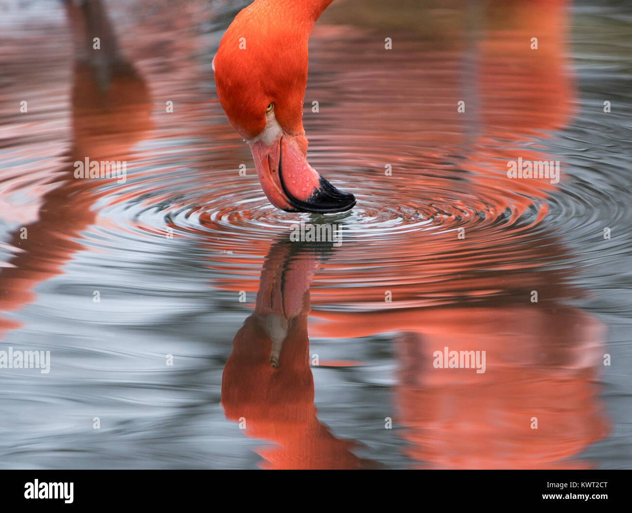 Dresden, Germany. 4th Jan, 2018. A flamingo drinks water from a pond in the flamingo enclosure at the zoo in Dresden, - Stock Image