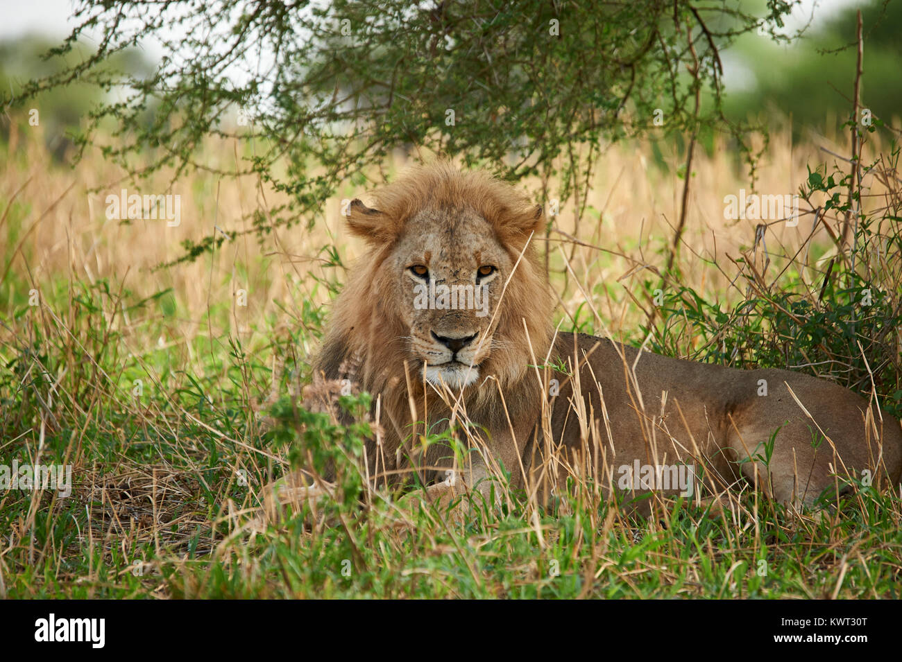 A watchful male lion resting under a bush - Stock Image