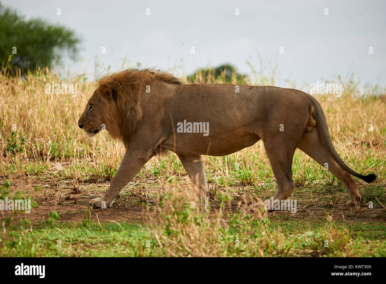 Male lion strolling the plains - Stock Image