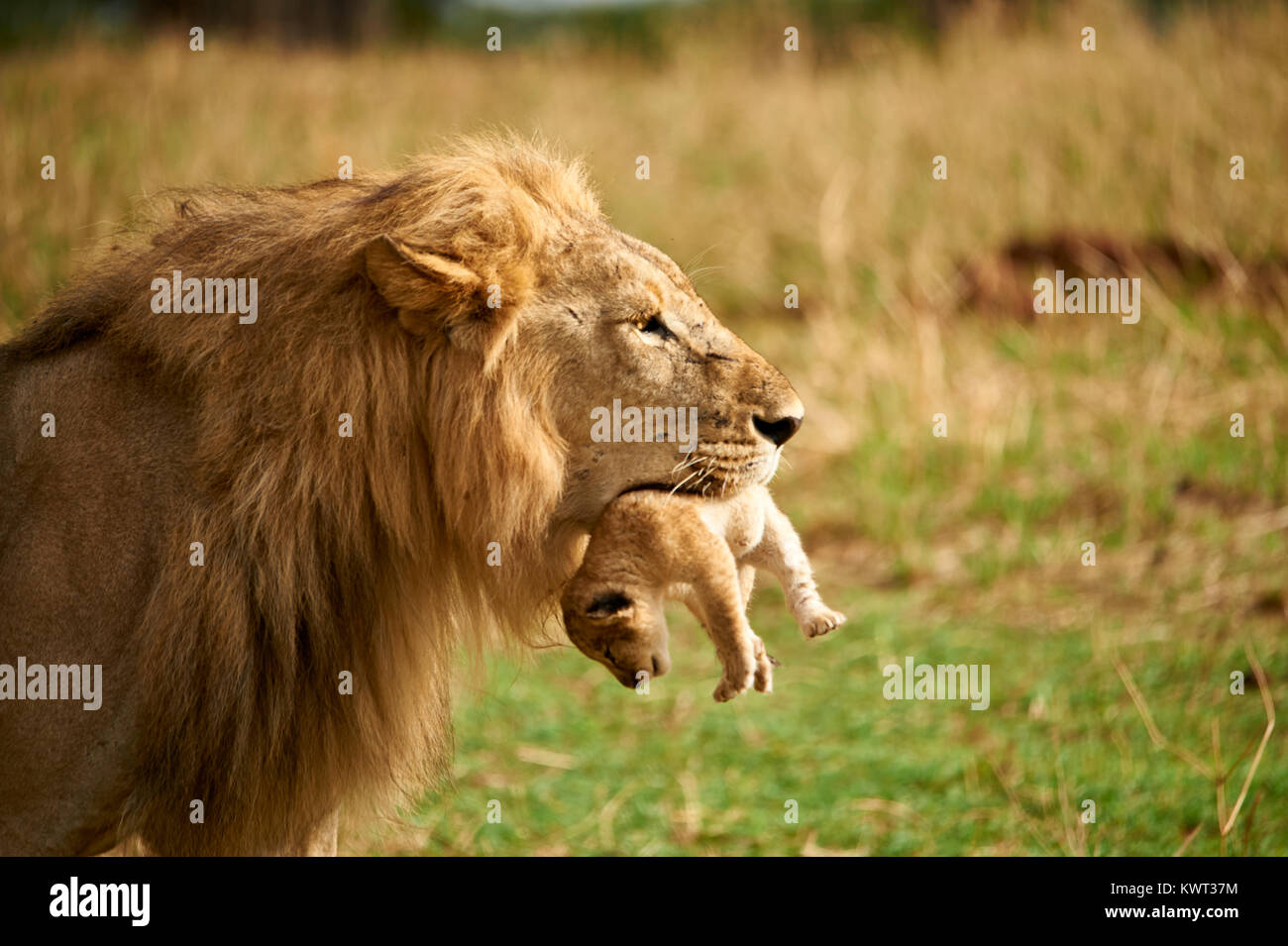 Male lion carrying one of its cubs - Stock Image