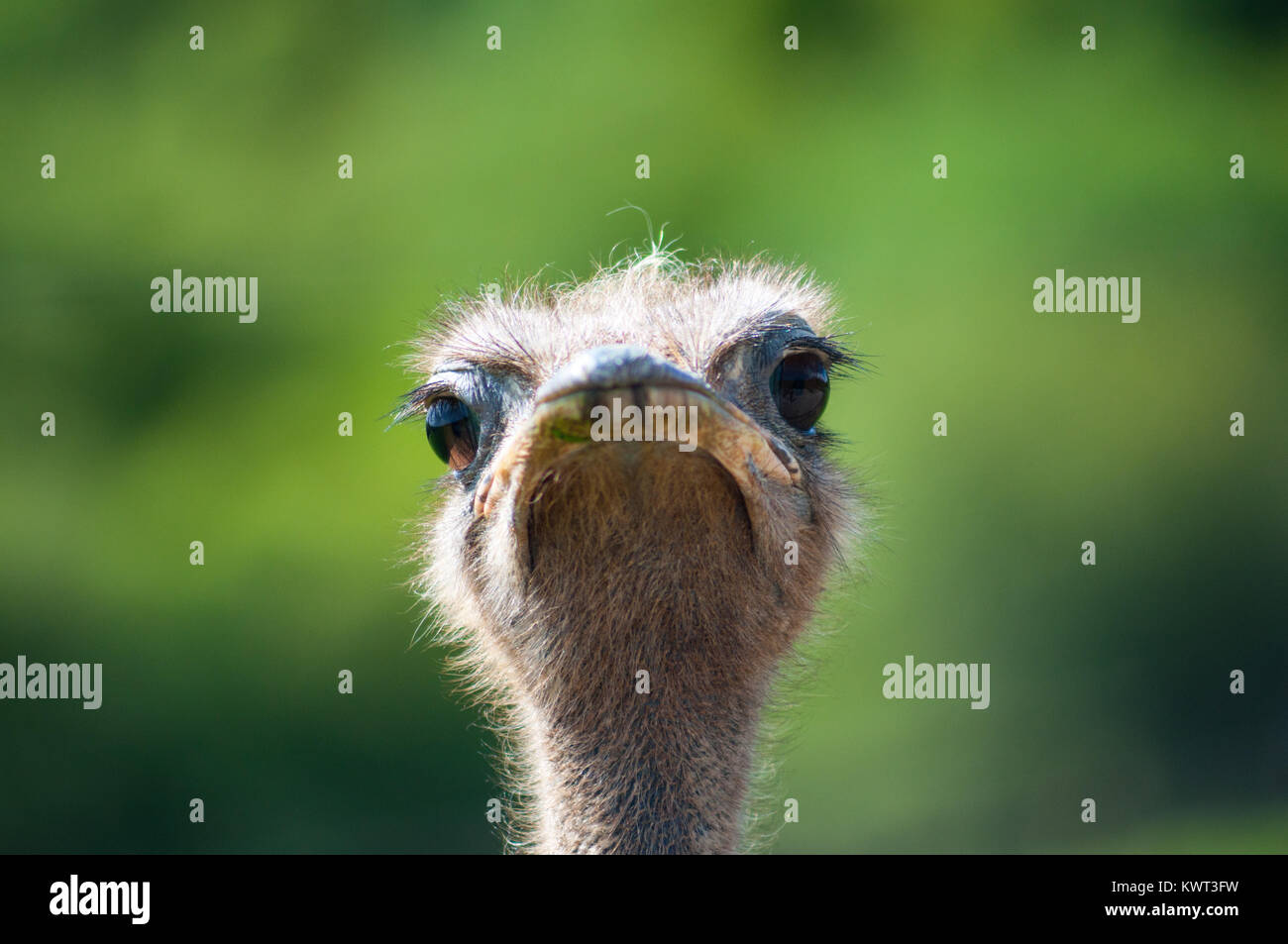 Ostrich looking at camera Stock Photo
