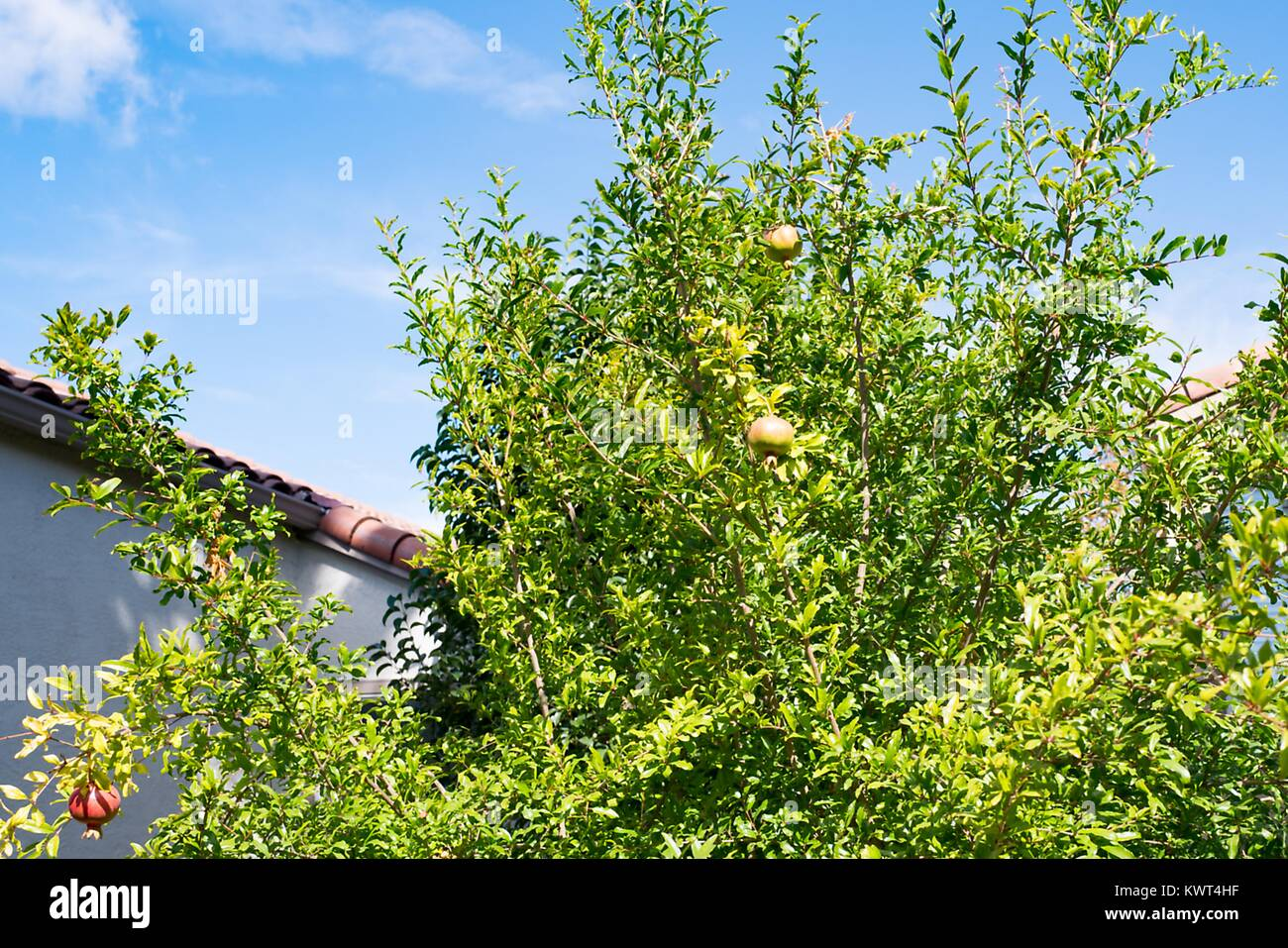 Pomegranates growing on a tree against a blue sky during the Jewish holiday of Rosh Hashanah, September 21, 2017. - Stock Image