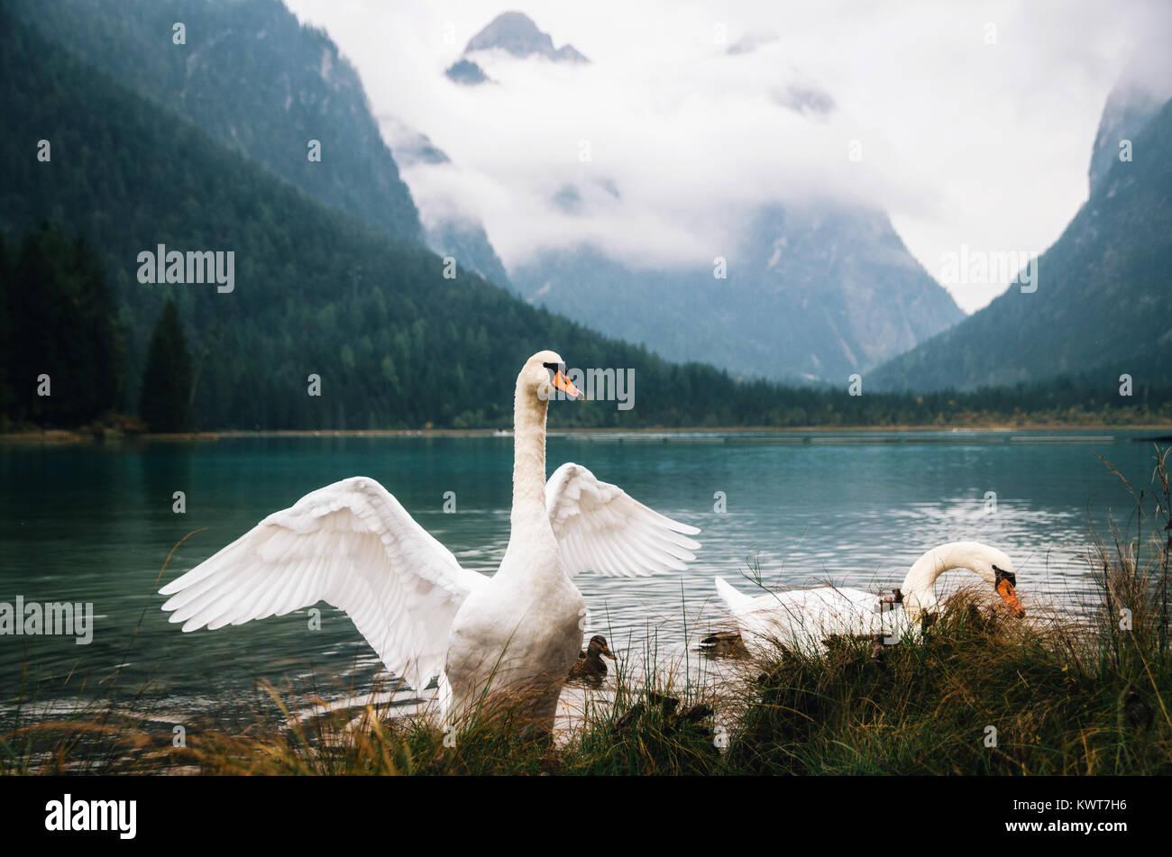 Swans on Dobbiaco Lake in Dolomites, Italian Alps - Stock Image