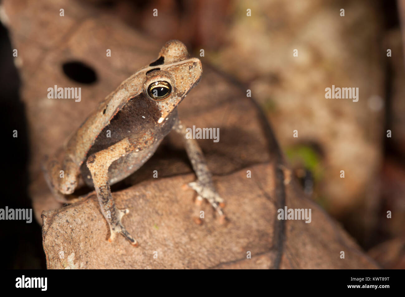 A small toad (Rhinella proboscidea) perched on a leaf in the Allpahuayo-Mishana National Reserve (Peru). - Stock Image