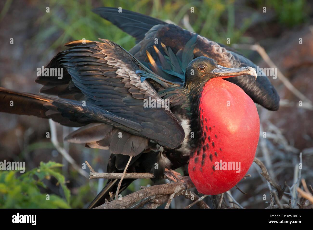 Great frigatebird (Fregata minor) with bright red inflated gular sac during a display. Genovesa, Galapagos. - Stock Image