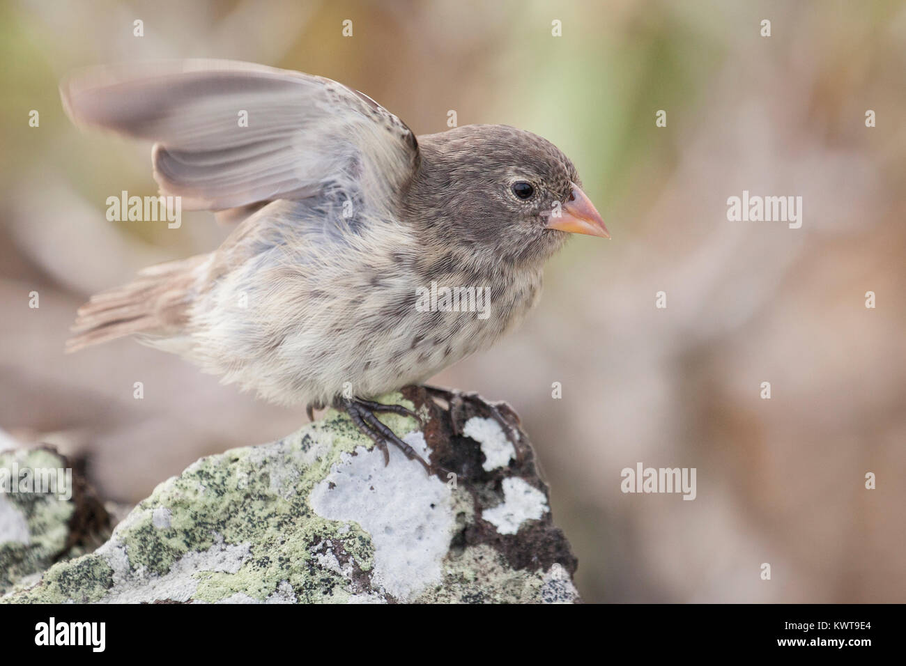 A small ground finch (Geospiza fuliginosa); this is one of the Galapagos finches made famous by the explanation Stock Photo