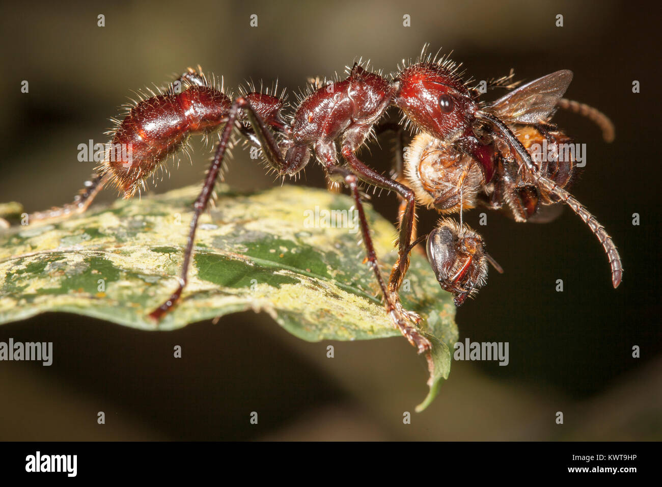 Bullet ants are much feared for their debilitating sting and powerful jaws. This bullet ant has decapitated a bee. Stock Photo