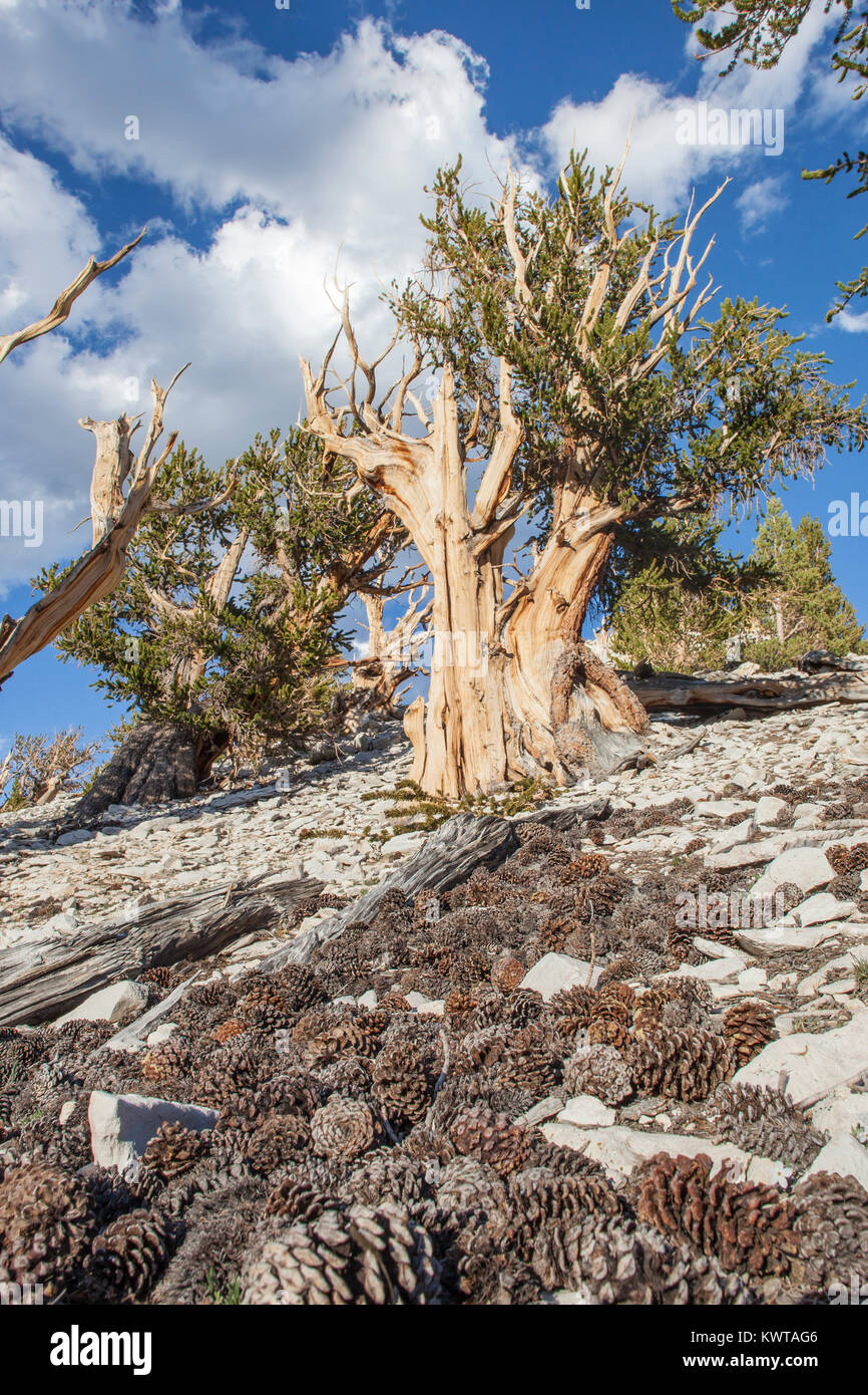 Old growth Great Basin Bristlecone Pine tree (Pinus longaeva) in Patriarch Grove, Ancient Bristlecone Pine Forest - Stock Image