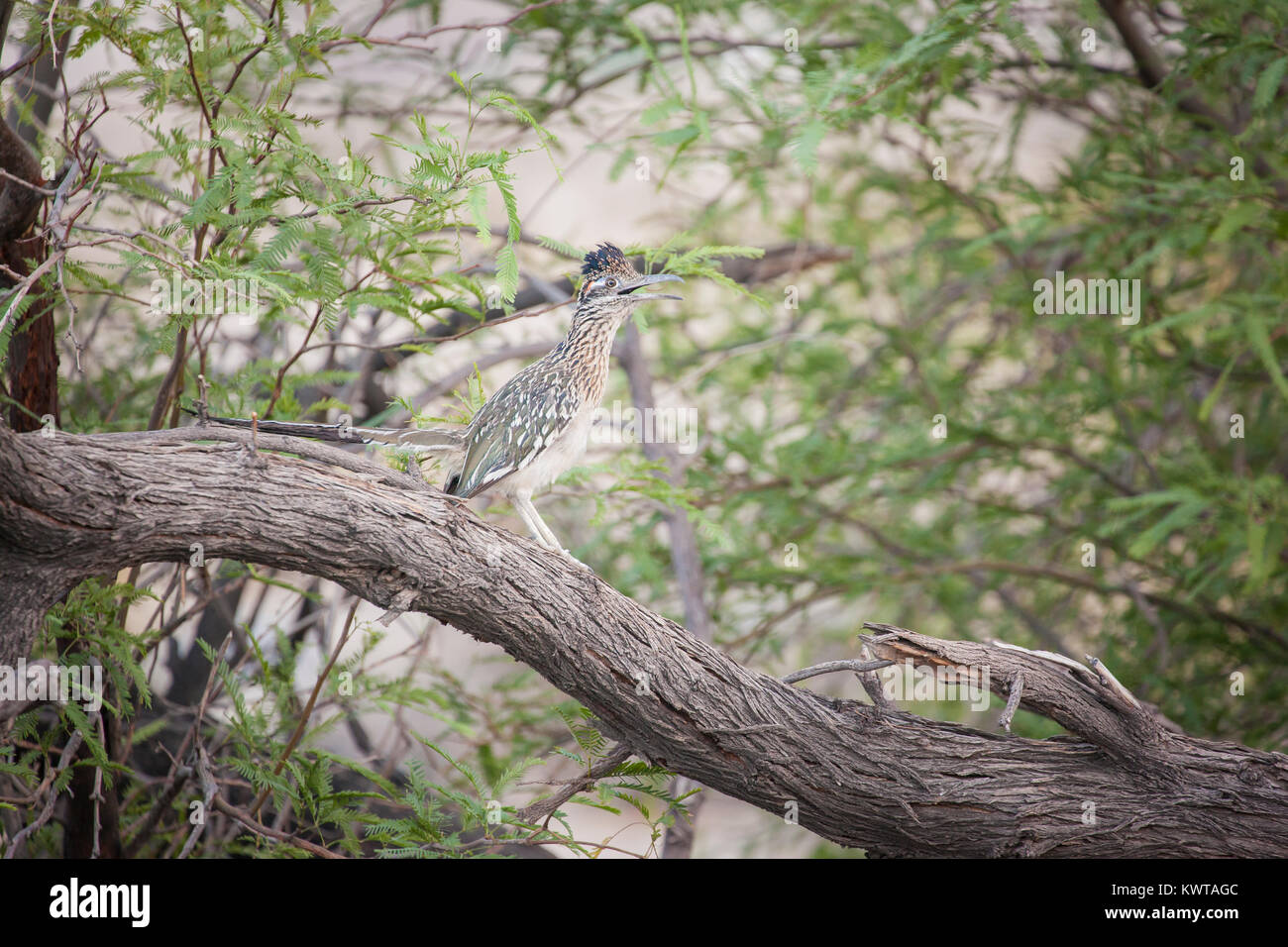 Greater roadrunner (Geococcyx californianus) with mouth open in Anza-Borrego Desert State Park, California, USA. Stock Photo