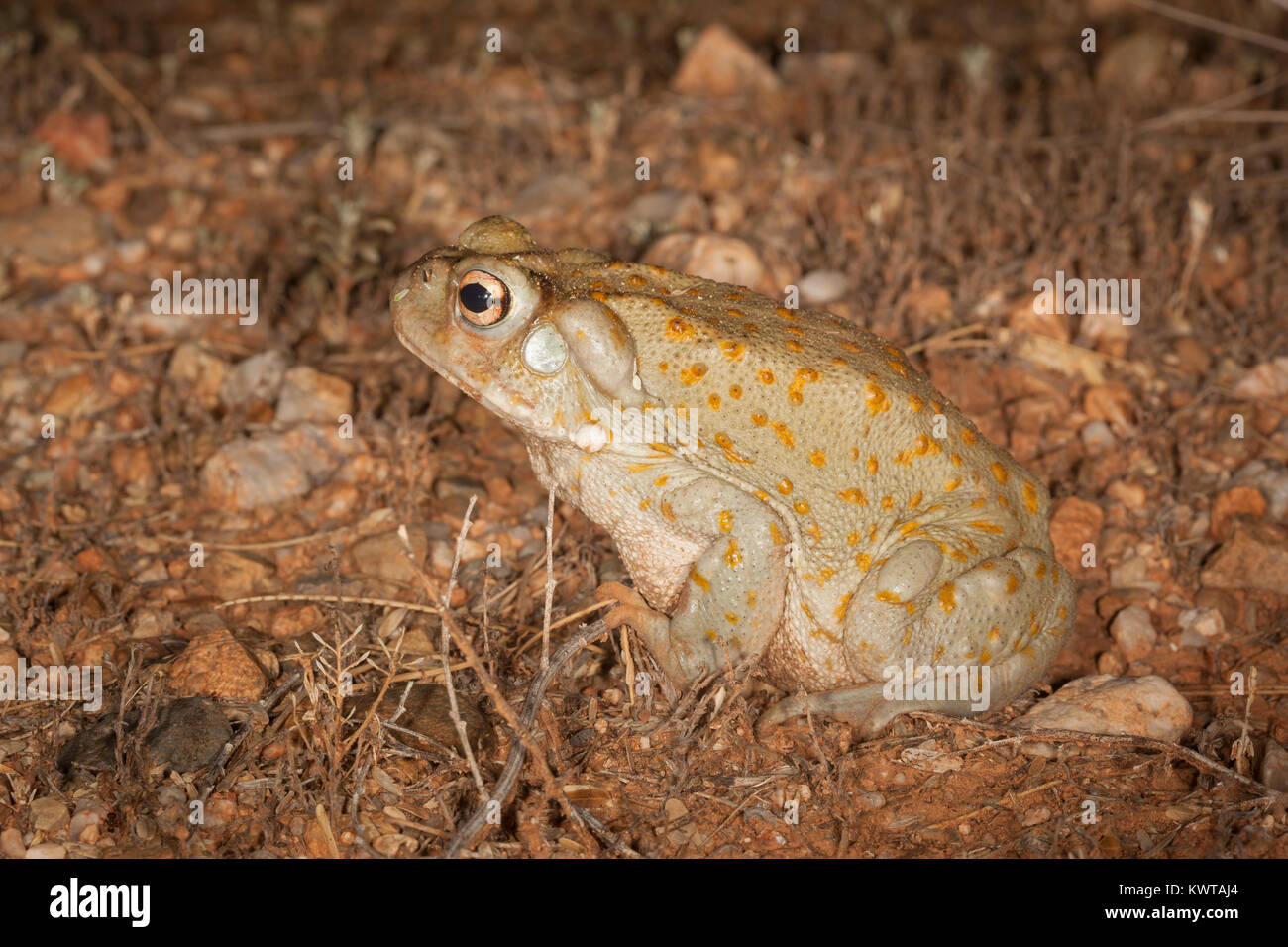 Sonoran desert toad (Colorado River toad), Incilius alvarius (Bufo alvarius). Poison glands behind head and on legs - Stock Image