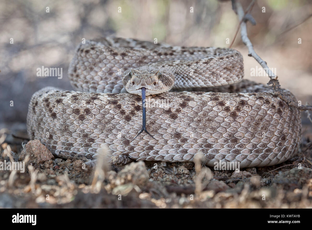 Coiled western diamondback rattlesnake (Crotalus atrox), extending its forked tongue. Stock Photo