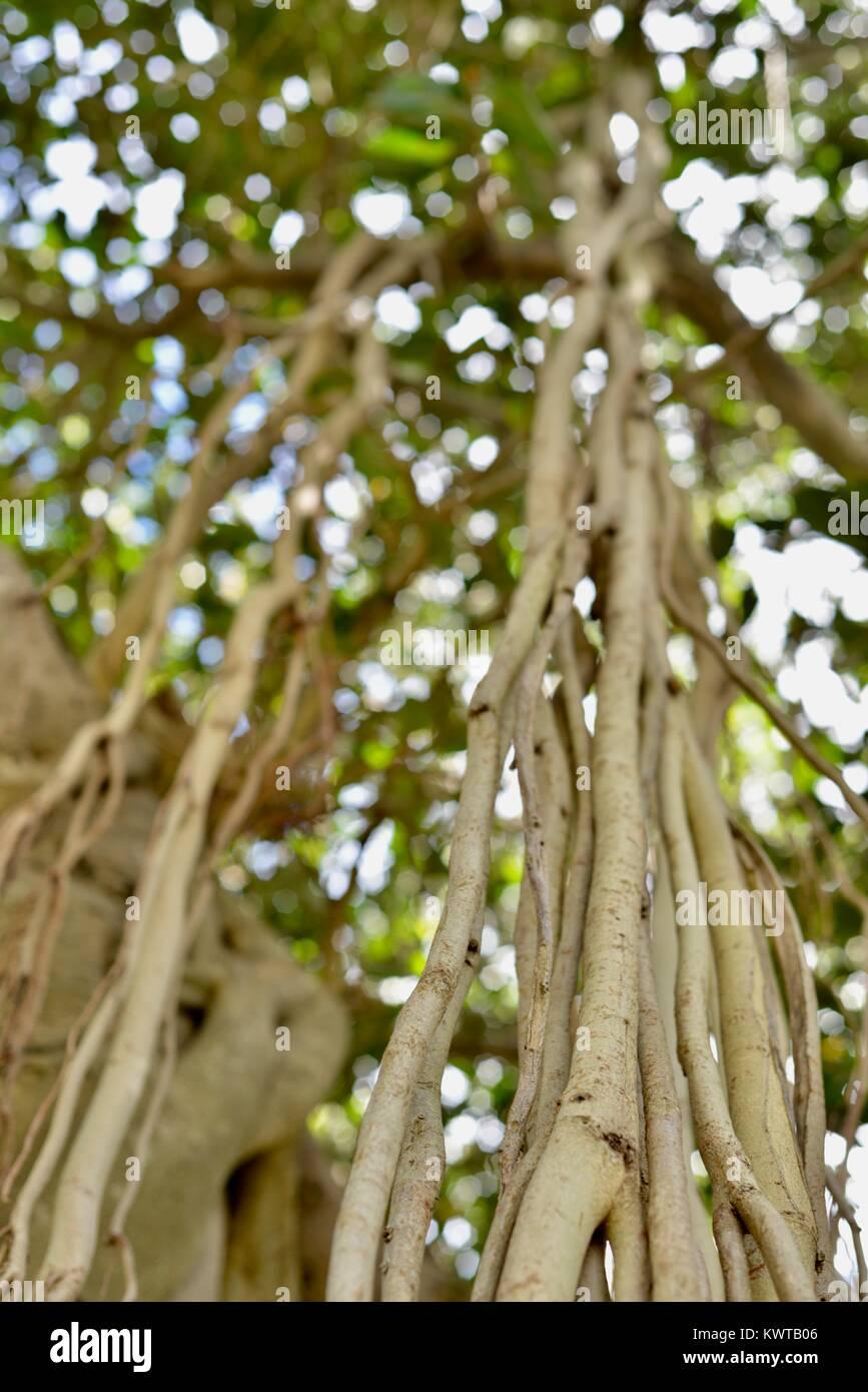 Fig tree roots, Sherriff Park, Love Lane, Townsville, Queensland, Australia - Stock Image