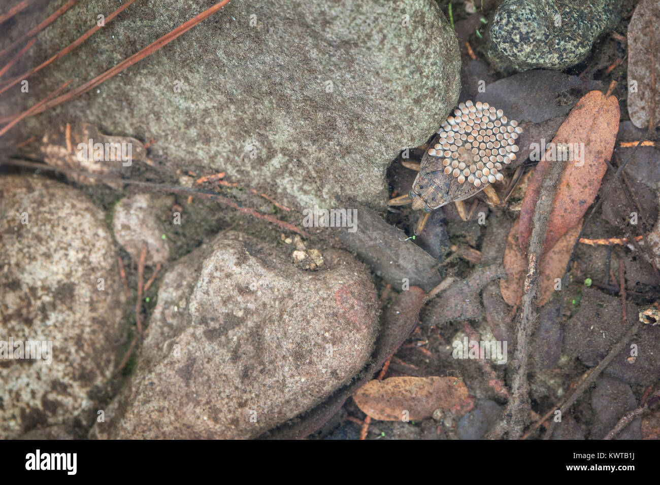 Male giant water bug (aka, toe-biter, family Belostomatidae, Order Hemiptera) transporting and guarding eggs that - Stock Image