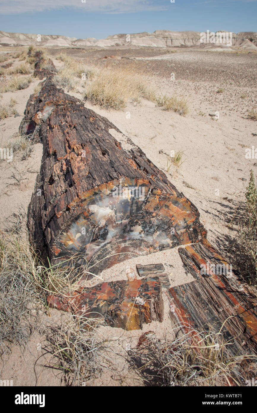 Petrified log. Petrified Forest National Park, Arizona, USA. - Stock Image