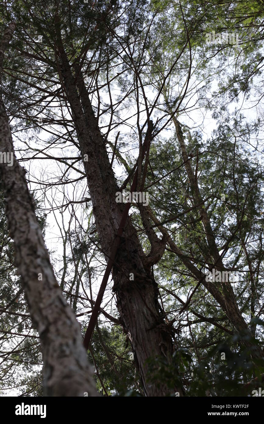 Kuroi Jukai, the Black Sea of Trees, is known as the Suicide Forest. Nooses and personal items can be found among Stock Photo