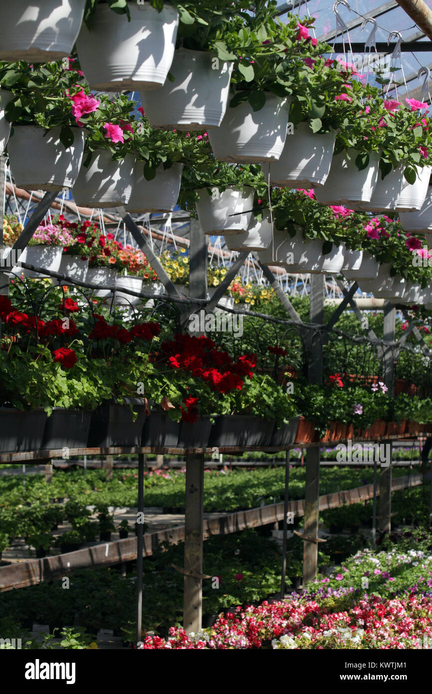 Petunia Field With Spring And Summer Flowers In Hanging Pots In A