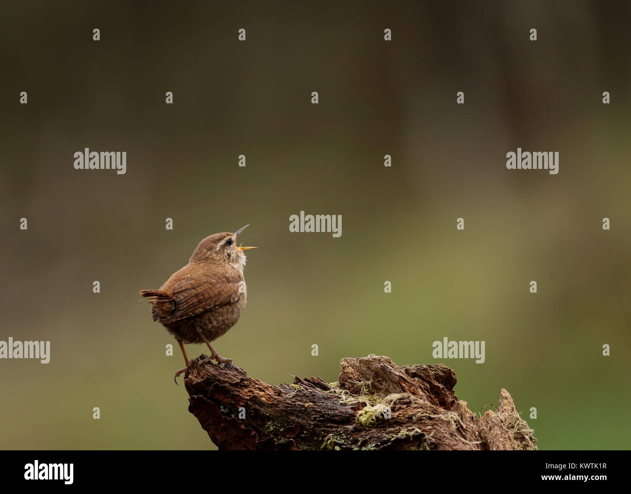 Wren Singing from Woodland Perch - Stock Image