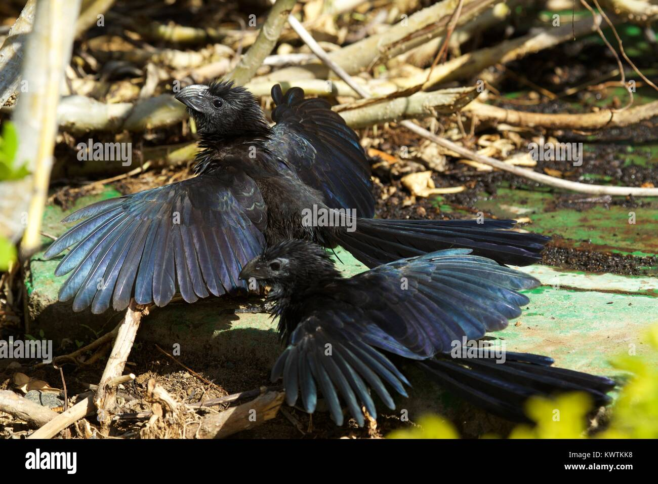 Groove-billed Ani (Crotophaga sulcirostris) sunbathing at Las Mareas, Costa Rica - Stock Image