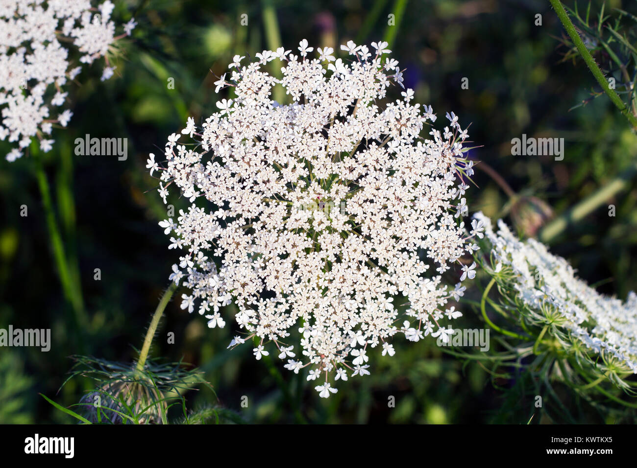Big white field flower Ammi majus. Bullwort, Queen Anne lace, laceflower wild flower, top view Stock Photo