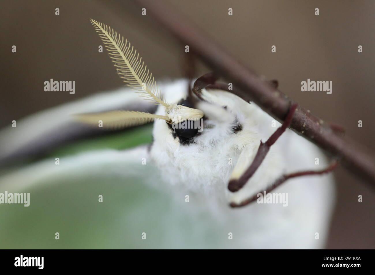 Female Luna Moth [Actias luna] - Stock Image
