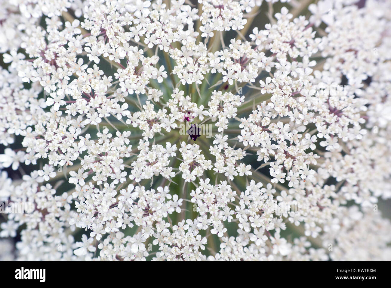 Big white field flower Ammi majus. Bullwort, Queen Anne lace, laceflower wild flower, macro Stock Photo