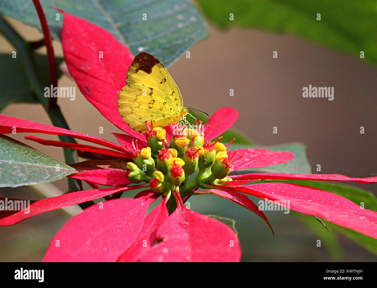 Three Spot Grass Yellow Butterfly on red leaves of Poinsettia plant - Stock Image