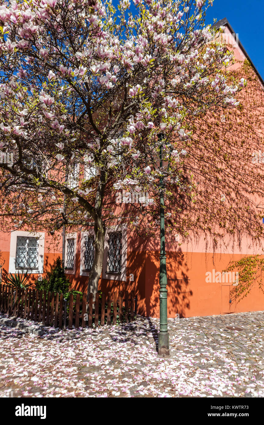 Magnolia falling petals, tree blossoming, Strahov monastery courtyard, Prague, Czech republic - Stock Image