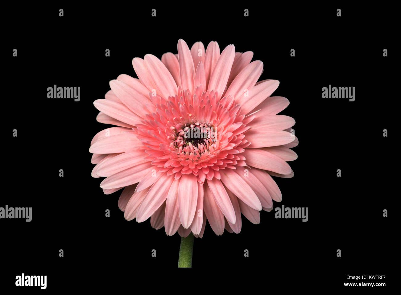 Closeup shot using focus stacking of a pink chrysanthemum on black background - Stock Image