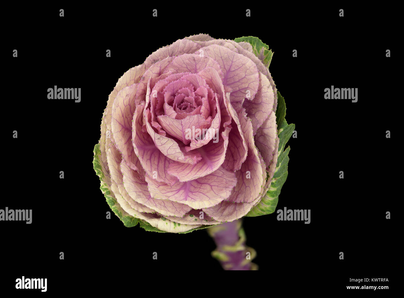 Closeup shot using focus stacking of a cabbage head as sold in a florist - Stock Image