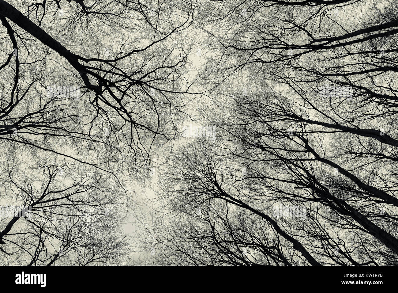 Bottom view of trees in late autumn forest. Melancholic atmosphere abstract background. - Stock Image