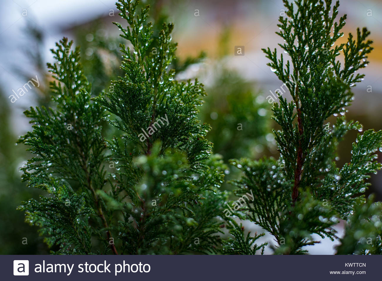 Cedar Dew Drops - Stock Image
