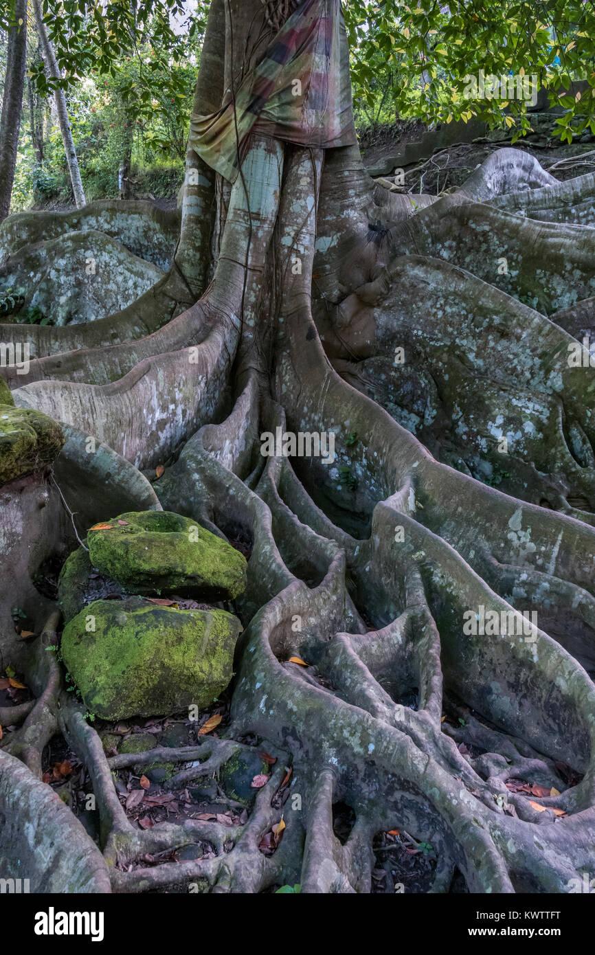Sacred Ceiba Tree On The Grounds Of Goa Gajah Temple