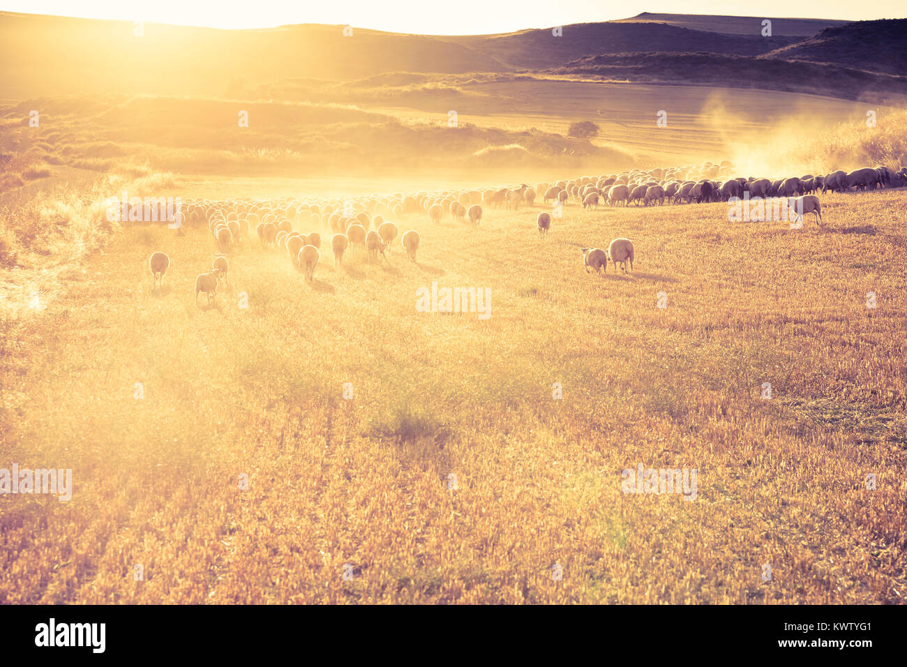 Flock of sheep in a cereal land. Tierra Estella county. Navarre, Spain, Europe. - Stock Image
