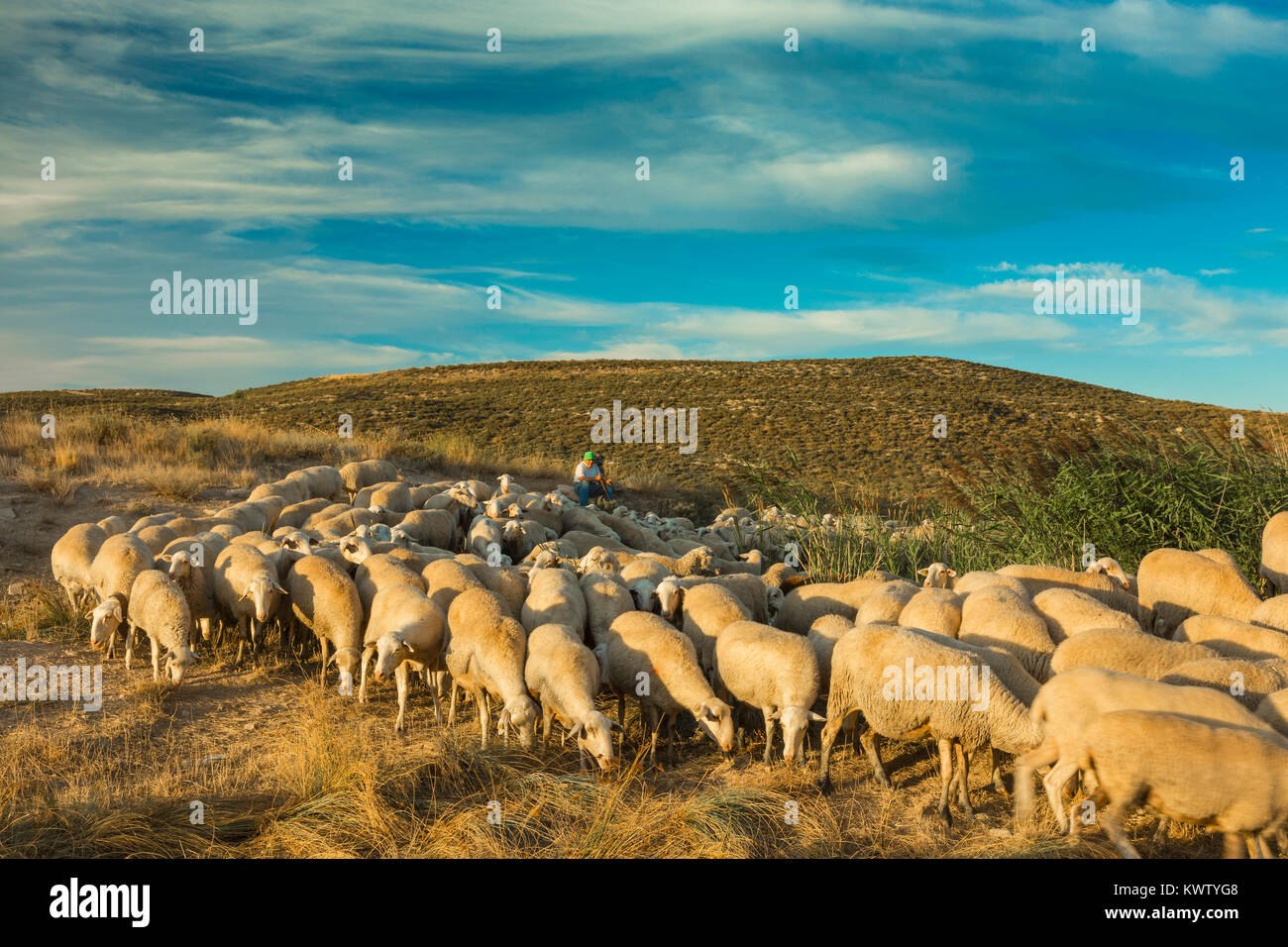 Flock of sheep and shepherd in a cereal land. Tierra Estella county. Navarre, Spain, Europe. - Stock Image