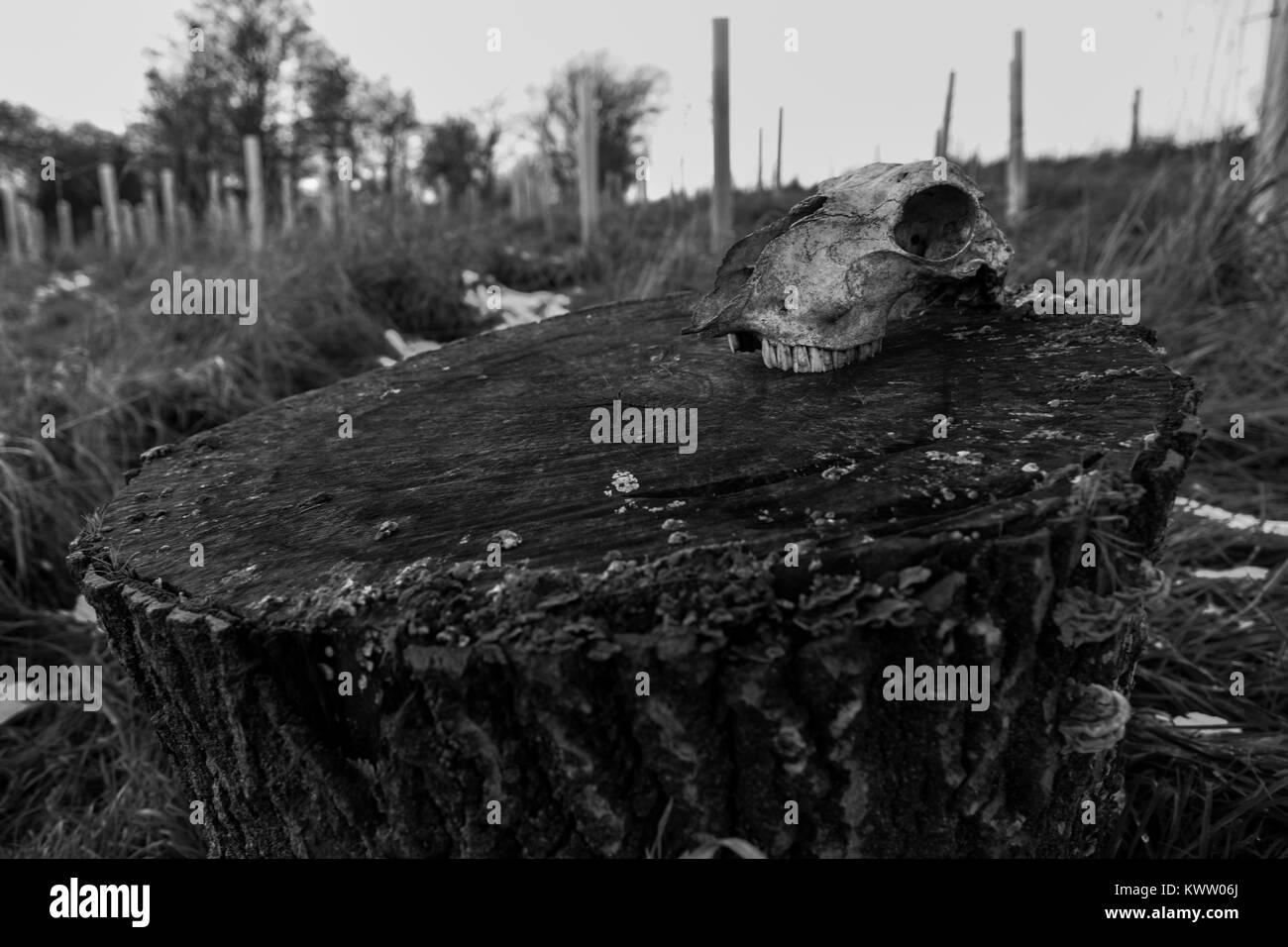 A sheep skull on a log - Northamptonshire, UK - Stock Image