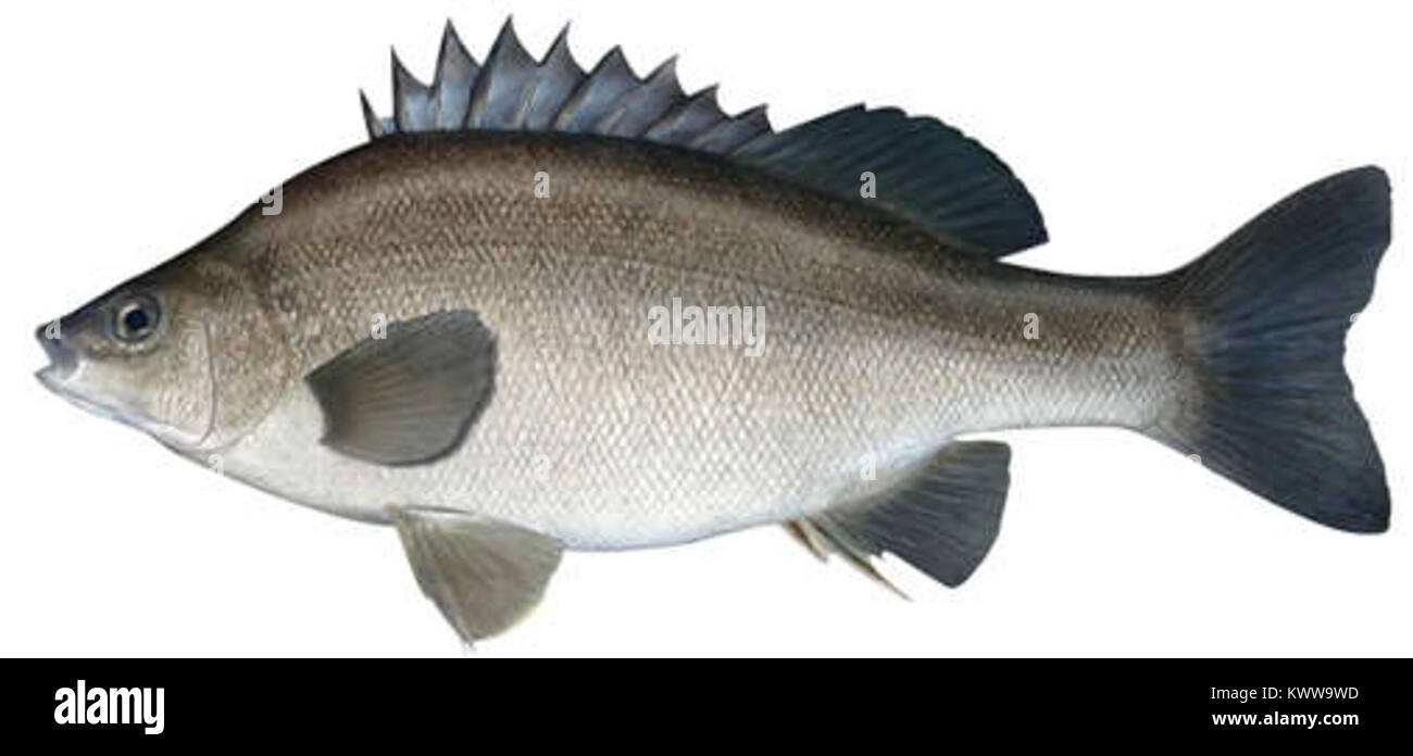 Bidyanus bidyanus as depicted by Fishing and Aquaculture, Department of Primary Industries, New South Wales - Stock Image