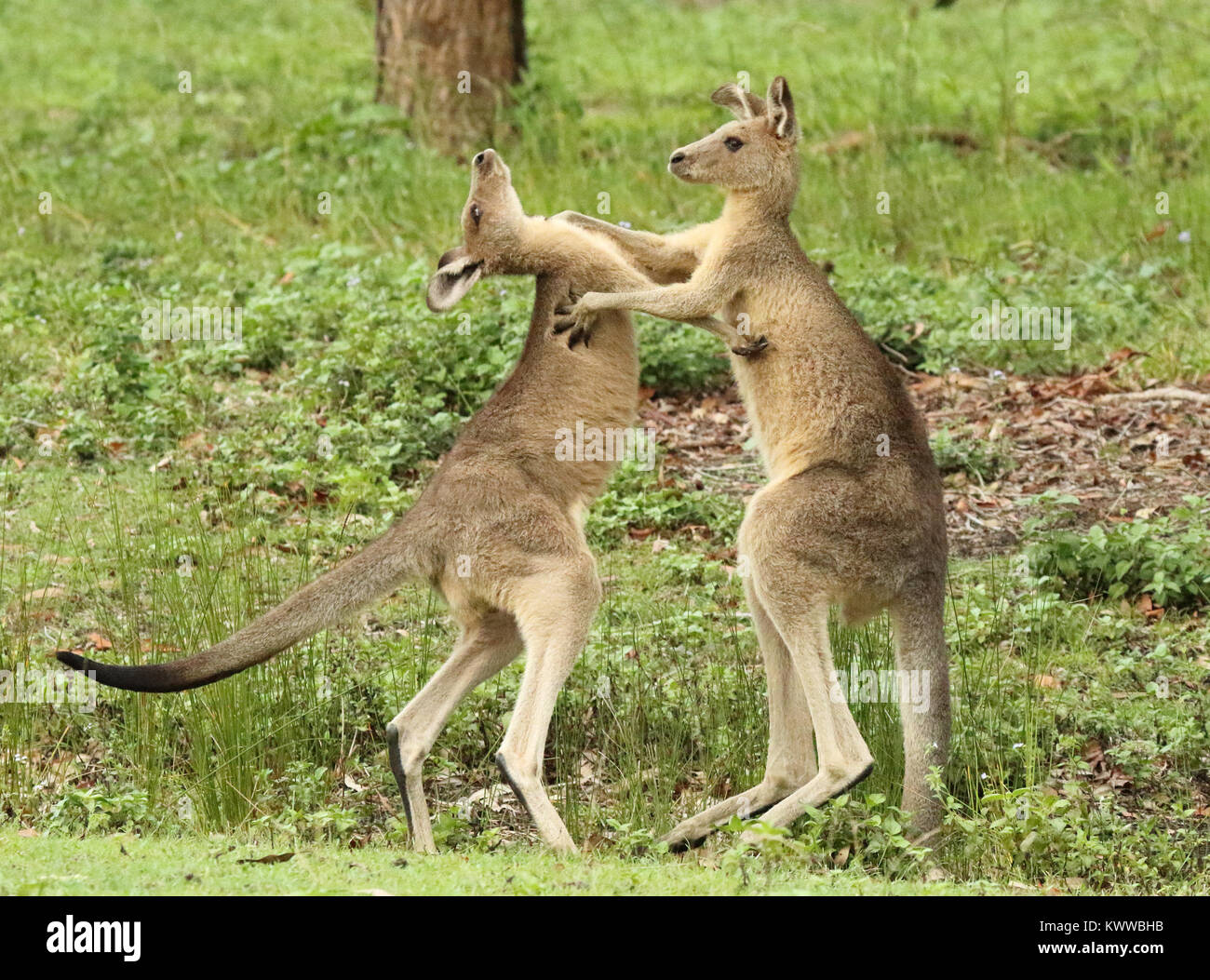 A pair of Kangaroos sparring and looking like dance partners. - Stock Image
