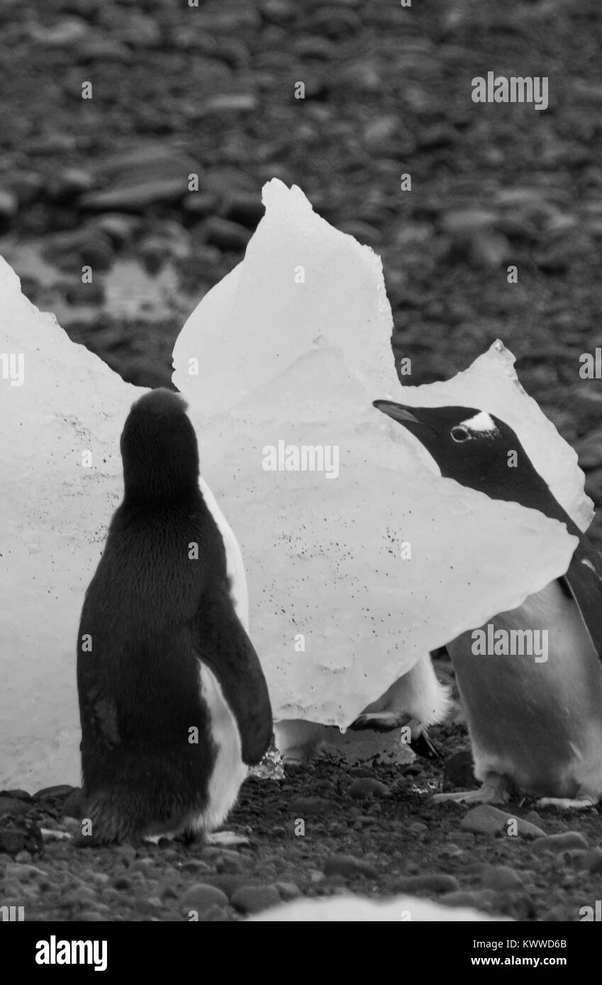 Penguins photographed during a 2 month tour of the various islands of antartica 2017 Stock Photo